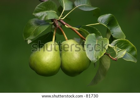 Green pears with the green background. - stock photo