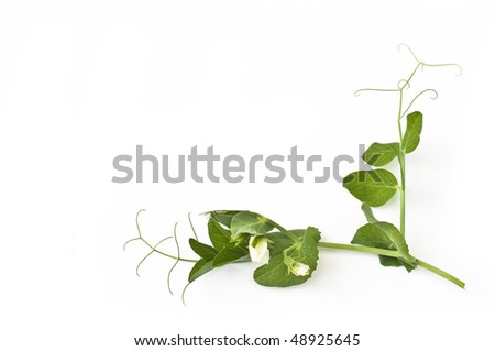 Green peas branch with leaves and flower, isolated on white