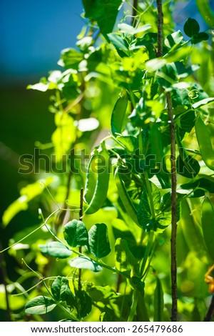 green peas in garden - stock photo