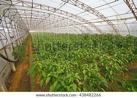 Green pepper grown in greenhouses - stock photo