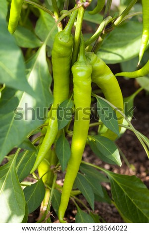 Green pepper in outside garden - stock photo