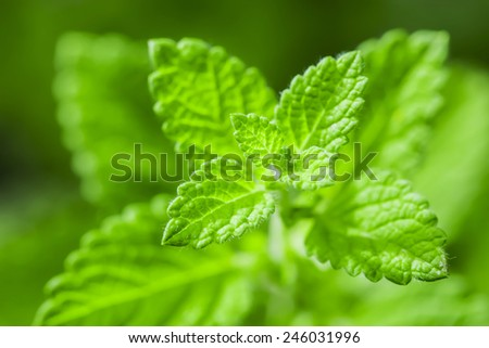 green peppermint - stock photo