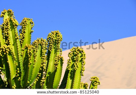 Green Peruvian Apple Cactus against desert background