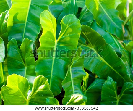 Green Philodendron leaves in sun light - stock photo
