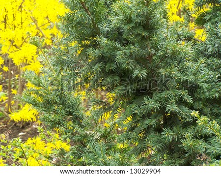 Green pine and yellow forsythia at the background.