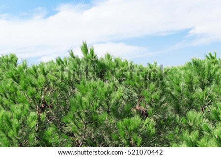Green pine branches on a background of bright blue sky