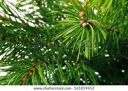 Green pine tree branch; natural forest background - stock photo