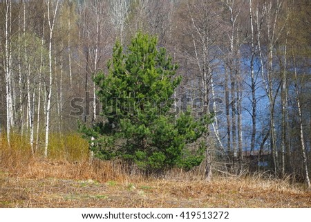 Green pine tree in the forrest