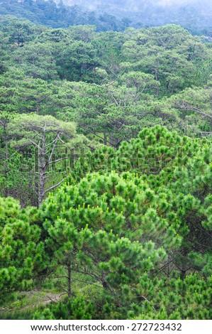Green pine tree on the mountain. - stock photo
