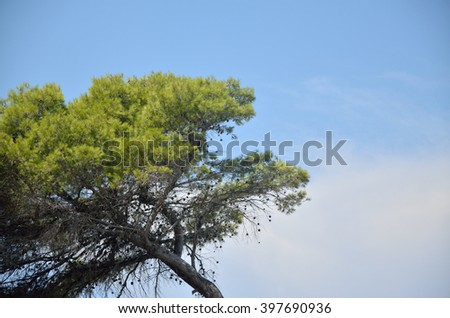 Green pine tree top and clear blue sky - stock photo