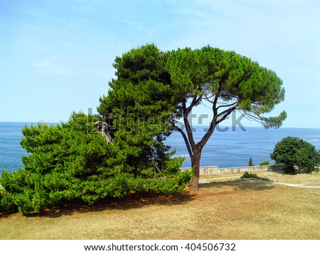 Green pine trees on a seaside on a sunny summer day