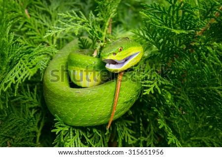 Green pit viper, Asian pit viper in nature. - stock photo