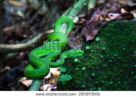 Green pit viper snake in Trimeresurus species - stock photo