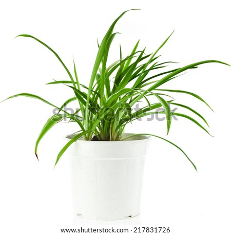 Green Plant Chlorophytum in flowerpot isolated on white background - stock photo