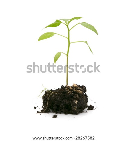 green plant in a soil over white - stock photo