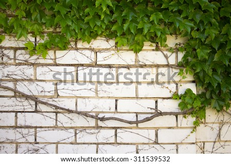 Green plant nature background. Ivy leafs on the white wall. Spring garden foliage creeper. Natural botany pattern. Decoration summer brunch.