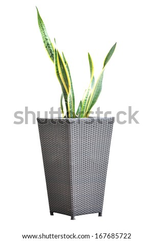 Green plant - Sansevieria  Trifasciata - in wicker flower pot - stock photo