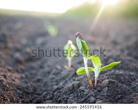 green plants seedling - stock photo
