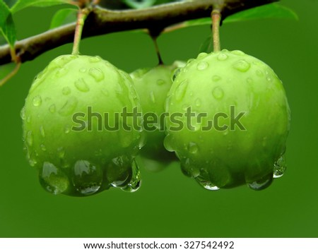 Green plums on a branch with raindrops - stock photo