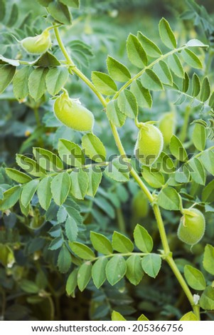 Green pod chickpea are growing on the field - stock photo