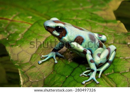 green poison arrow frog, Dendrobates auratus from the tropical rainforest of central America, Panama and Costa Rica - stock photo