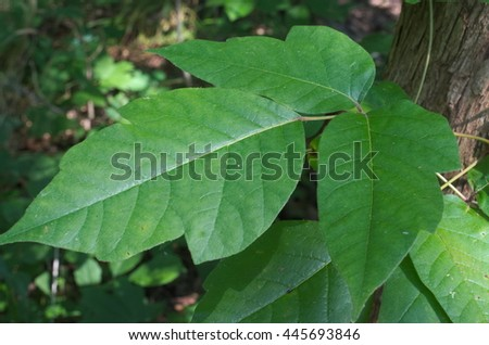 Green poison ivy in a cluster of three leaves with the typical serrated and notched appearance. - stock photo