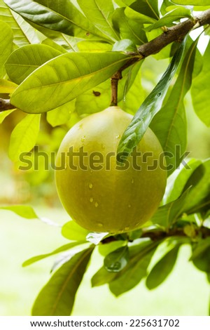 green pomelo on tree branch .