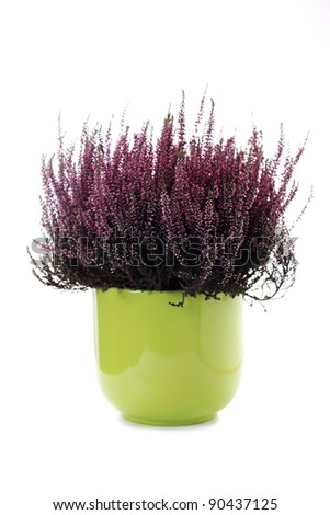 green pot of heather on white background - flowers and plants - stock photo