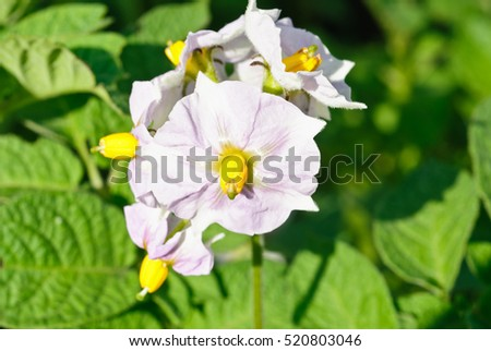 Green potato plant.Flower potato macro. Leaf of vegetable. Organic food agriculture in garden, field or farm. Growth of crop.