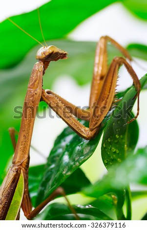green praying mantis on flower / Mantis religiosa