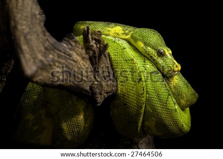 Green Pyhton in the reptile house in vienna - stock photo