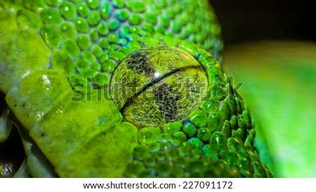 Green python (Morelia viridis). closeup of the eye - stock photo