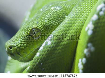 Green python snake, close up to the eye. - stock photo