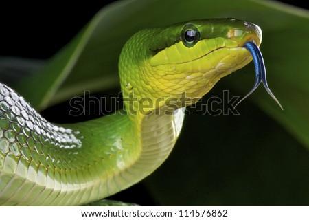 Green rat snake / Gonyosoma oxycephalum - stock photo