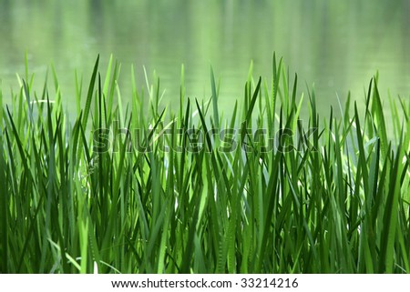 Green Reed and Cattail on a Lake - stock photo