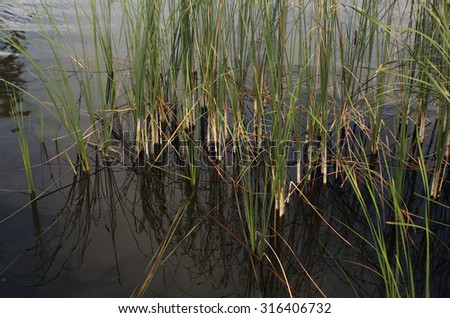 Green reed grass. Natural background - stock photo