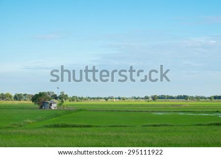 Green rice cornfield on blue sky. - stock photo