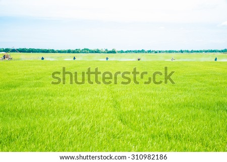 Green rice field and farmers in row do spraying pesticides  - stock photo