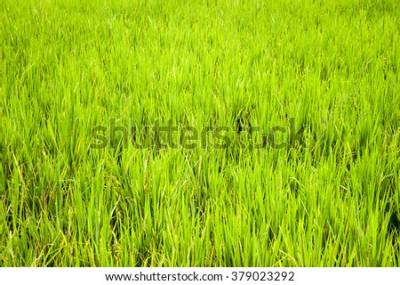 GREEN RICE FIELD CLOSE UP