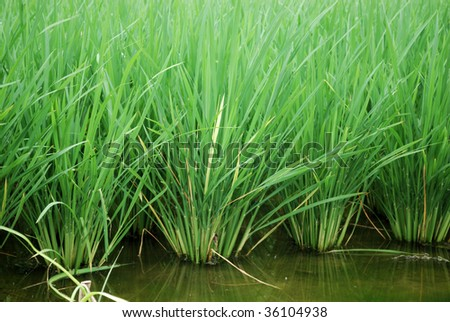 Green rice field in Ecuador the South America - stock photo