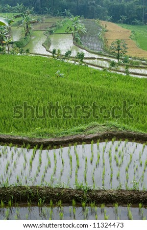 green rice field terraces - stock photo