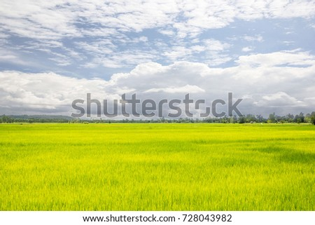green rice field with blue sky Landscape.
