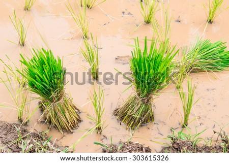 Green rice fields - stock photo