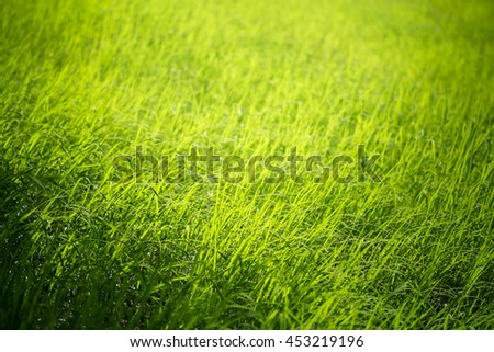 Green rice fields in south of Thailand - stock photo