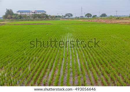 Green rice fields in Thailand, beautiful lanscape of upcountry in Thailand