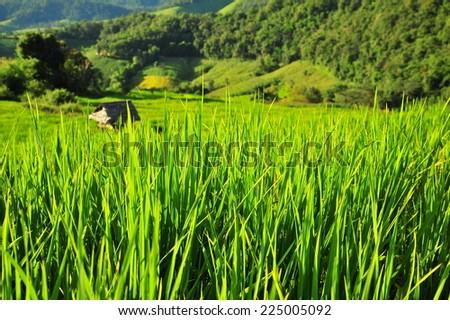 Green Rice Paddy Plants - stock photo