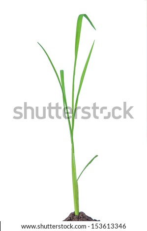 Green rice plant on white background - stock photo