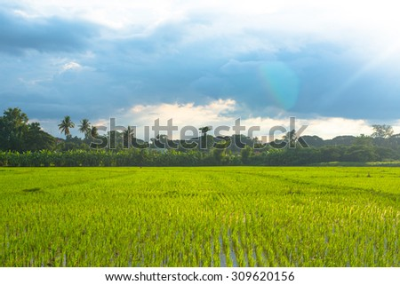 green rice terrace,rice field.green grass ,mountain and blue sky.