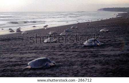 Green Ridley turtles begin a night of egg laying