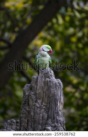 Green Ringneck Parrot on the top of a tree - stock photo